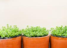 有花的绿色花植物在白色墙壁背景的棕色瓦器 图库摄影