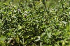 有花的绿色薄荷的植物 图库摄影