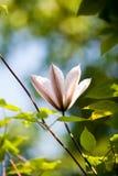 有花的美丽的白色铁线莲属植物 免版税库存图片