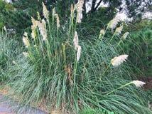 有花的蒲苇植物 免版税库存照片