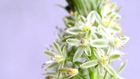 有花的错误海葱药用植物 股票录像