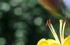 有花粉的布朗雄芯花蕊在黄色百合瓣 库存照片