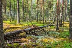 有花草甸和一棵老下落的树的杉木森林 免版税库存照片