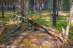 有花草甸和一棵老下落的树的杉木森林 免版税库存图片