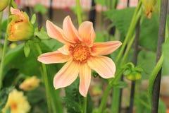 有花蕾的桃色的大丽花花开花在背景中 免版税库存图片