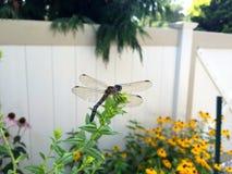 有花边的蜻蜓翼 免版税图库摄影