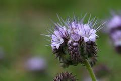 有花边的phacelia的花 库存照片