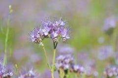 有花边的Phacelia Tanacetifolia花  库存照片