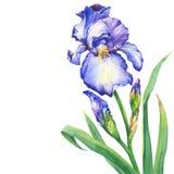 有芽的分支开花的蓝色虹膜 库存例证