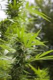 有芽的大麻厂 免版税库存图片
