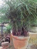 有芽的棕榈植物 免版税库存照片
