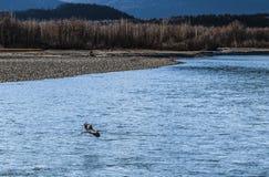 有苍鹭的Chilkat河 库存照片