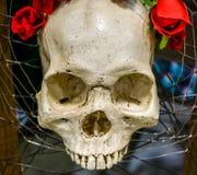 有英国兰开斯特家族族徽的一块头骨 库存图片