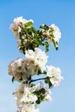 有苹果树开花的枝杈关闭  库存图片