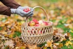 有苹果篮子的妇女在秋天庭院的 免版税库存照片