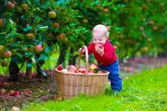 有苹果篮子的小男孩在农场 库存图片