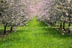 有草道路的,捷克风景樱桃桃红色树果树园 图库摄影
