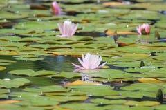 有荷花的池塘 库存图片