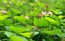 有莲花和芽的绿色叶子 库存照片