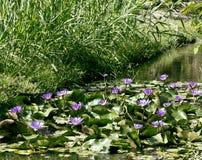 有莲花的真正的湖,狂放的自然东方人 免版税库存照片