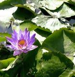 有莲花的真正的湖,狂放的自然东方人 免版税库存图片