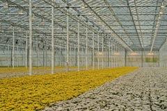 有菊花的现代温室 免版税库存照片