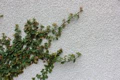 有落后横跨面孔的豪华的常春藤的大灰泥墙壁的它 免版税库存图片