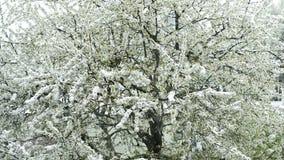 有落的雪的樱花 股票视频