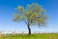 有葡萄园和一棵唯一树的绿色夏天草甸 库存图片