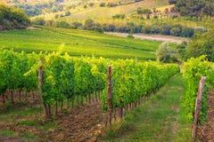 有葡萄,托斯卡纳,意大利,欧洲行的壮观的葡萄园  免版税图库摄影