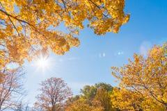 有蓝天和太阳的黄色和橙色槭树叶子在秋天飘动 免版税图库摄影
