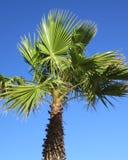 有蓝天的棕榈作为在地中海旁边增长的背景,肋前缘布朗卡,西班牙 库存图片