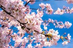 有蓝天的樱花 库存图片