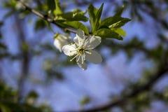 有蓝天的,春天苹果计算机开花 免版税库存照片