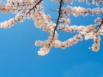 有蓝天的4美丽的佐仓开花 免版税库存图片