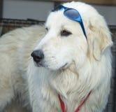 有蓝色太阳镜的大比利牛斯在头 库存照片