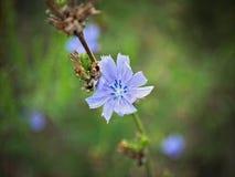 有蓝色花的,关闭野生植物开花 库存照片