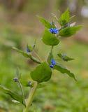 有蓝色花的Speedwell厂 图库摄影