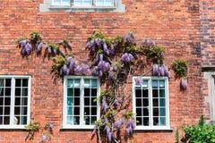 有蓝色紫藤的老房子墙壁 免版税库存照片