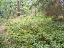 有蓝莓灌木的杉木森林,白俄罗斯 免版税库存图片