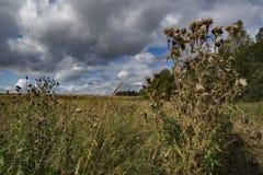 有蓟的草甸在夏天 库存照片