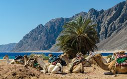 有蓬卡车说谎的骆驼在埃及宰海卜南西奈的沙漠 免版税库存图片