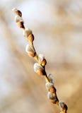 有蓬松杨柳芽的枝杈 免版税库存图片