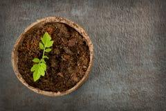有蕃茄幼木的生物可分解的泥炭沼罐在织地不很细 库存图片