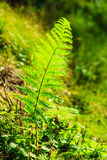 有蕨的密林离开绿色自然背景 库存照片
