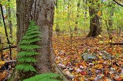 有蕨的秋天森林 免版税库存照片