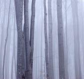 有薄雾山毛榉的森林 库存图片