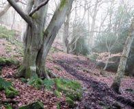 有薄雾的冬天森林足迹在冬天有蕨和下落的叶子的山毛榉森林地 免版税库存图片