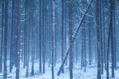 有薄雾的多雪的具球果森林 免版税库存照片