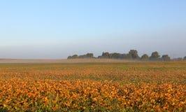 有薄雾的大豆领域在黎明 库存图片